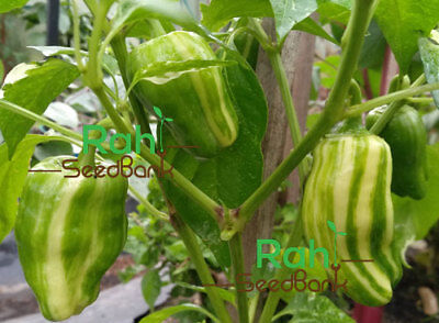 OZ Grown Candy Cane Hybrid Pepper Eye-catching Variegated Sweet Flavor Pepper