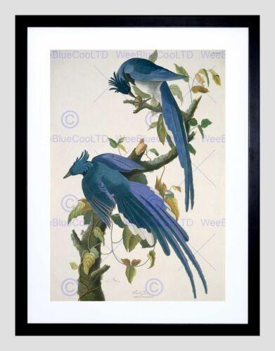AUDUBON AMERICAN COLUMBIA JAY BLACK FRAMED ART PRINT B12X5246