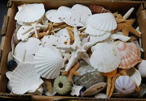 Bulk Box Damaged starfish - shells - Sand dollars Item # box D37-L