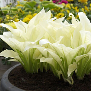Hosta-Plantaginea-Seeds-Fragrant-Plantain-Flower-Fire-And-Ice-Shade-White-Bonsai