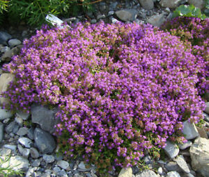 CREEPING-THYME-GROUND-COVER-Thymus-Serpyllum-35-000-Bulk-Seeds