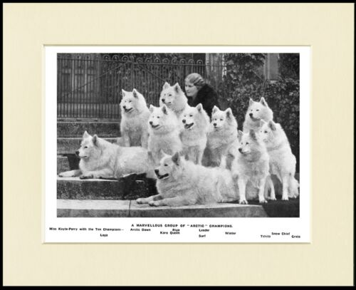 SAMOYED ARTIC KENNELS LADY AND NAMED DOGS LOVELY IMAGE DOG PRINT READY MOUNTED