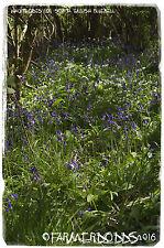 Hyacinthoides non-scripta 'English Bluebell' [Ex. Co. Durham] 100+ SEEDS