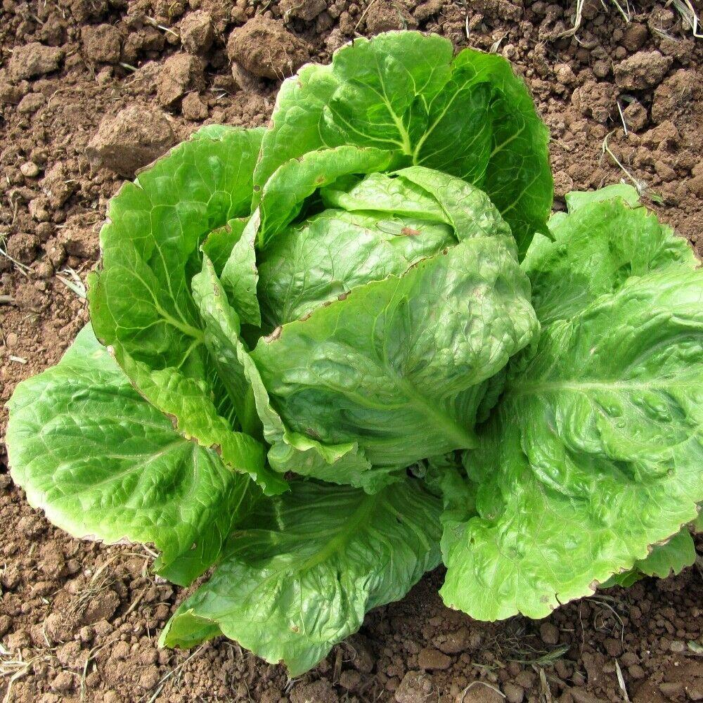 96,000 Iceberg lettuce seeds Microgreens Survival seeds Organic Micro green