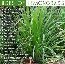 Lemongrass Plant, Stalks, 7 Cuttings, Herbal Tea,  Easy to Plant