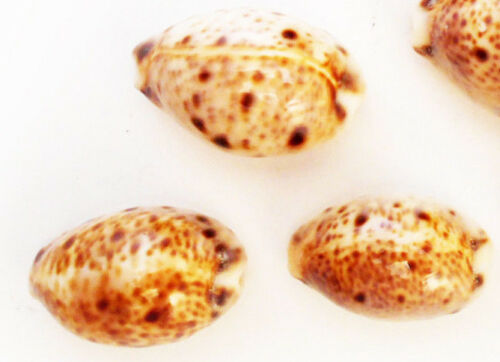 "3 Beautiful Lynx Cowries 3//4/""-1/"" Shells Seashells Cypraea Crafts Beach Jewelry"