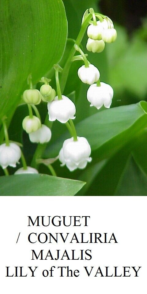 LILY of The VALLEY MUGUET de Mai CONVALLARIA MAJALIS Ground COVER Seed Seeds +