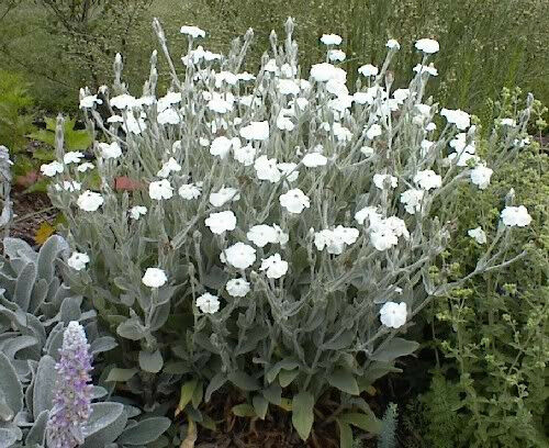 50 WHITE LYCHNIS CAMPION SILENE COCKLE Flower Seeds