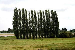 25-Pyramidenpappel-Pappel-Populus-nigra-039-Italica-039-50-80-cm-wurzelnackt