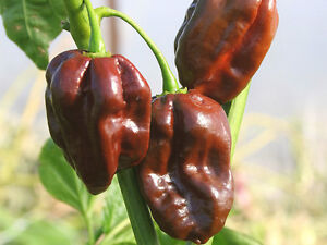 VEGETABLE-HOT-CHILLI-PEPPER-HABANERO-CHOCOLATE-60-SEEDS