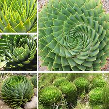 100pcs Mix Succulents seed, Aloe polyphylla rotation aloe vera queen seeds