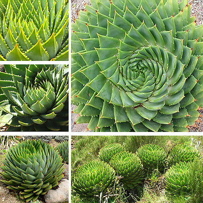 100pcs Mix Succulents Alone Seed Aloe Polyphylla Rotation Aloe Vera-queen Seeds
