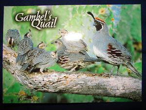 Gambel's Quail Arizona New Mexico Southwest hunting gamebird Postcard