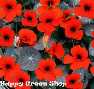 NASTURTIUM-TOM-THUMB-Empress-of-India-150-SEEDS-Tropaeolum-nanum-FLOWER