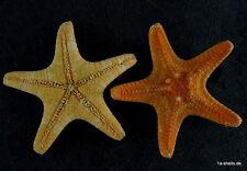seestern starfish protoreaster nodosus noppenseestern 45 mm ORANGE ! 3 stück !