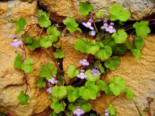 das schöne Zimbelkraut rankt mit vielen tollen Blüten ! für den Garten