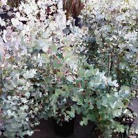 Eucalyptus Gunnii Pflanze Winterhart Keine Samen ..yy