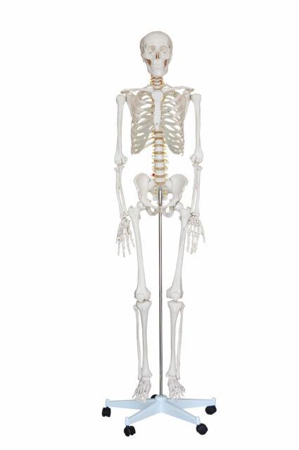 NEW LIFE SIZE HUMAN ANATOMICAL ANATOMY SKELETON MEDICAL MODEL +STAND