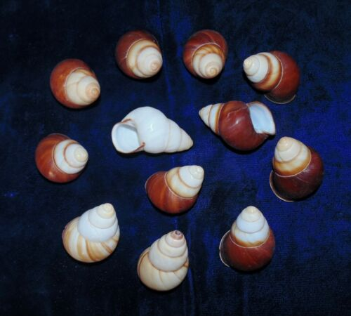 10 POLISHED BROWN SNAIL SHELLS FROM THE PHILIPPINES CRAFT AQUARIUM TEN