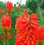 """Torche Lily /""""Kniphofia/"""" Graines des graines"""