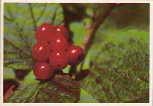 wab-Postcard-Highbush-Cranberry