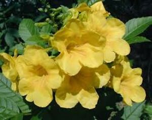 Esperanza tecoma stans flower seed aka texas yellow bells native 50 image is loading esperanza tecoma stans flower seed aka texas yellow mightylinksfo