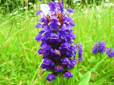 1000 HEAL ALL Self Heal Prunella Vulgaris Purple Herb Flower Seeds *Comb S/H