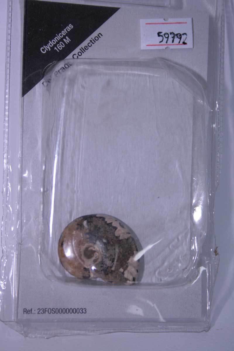 Clydoniceras 160 m del prado sammlung fossiler in blister sigillato mg1 59992