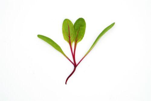 Micro germinazione-BAMBINO TRASPIRANTI-swiss chard-Rosso Chard-Semi 15 GRAMMI