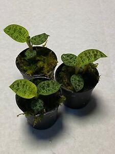 3x-Macodes-petola-Jewel-Orchid-Orchidee-Orchidea-Orquidea-Orchidee