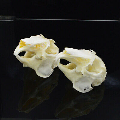 Natural Bone Quality A Cottontail Rabbit Skull