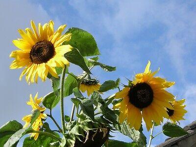 25 Semi Di Girasole * Solo 49 P * - Grande Summer Fun In The Sun & Insect Amichevole-mostra Il Titolo Originale Rafforzare La Vita E I Sinews
