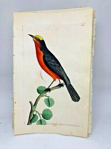 Barbary-Shrike-1783-RARE-SHAW-amp-NODDER-Hand-Colored-Copper-Engraving