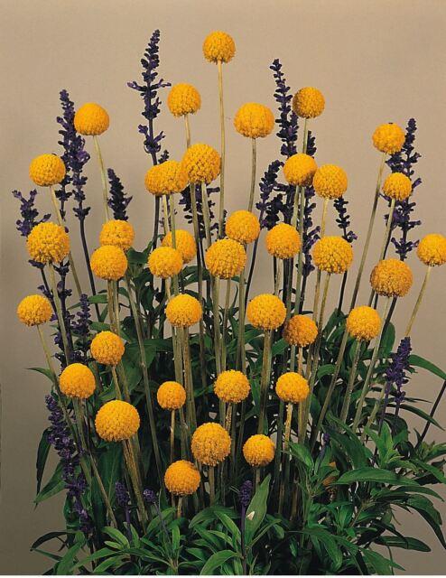 Flower - Craspedia globosa - Drumstick - 100 Seeds