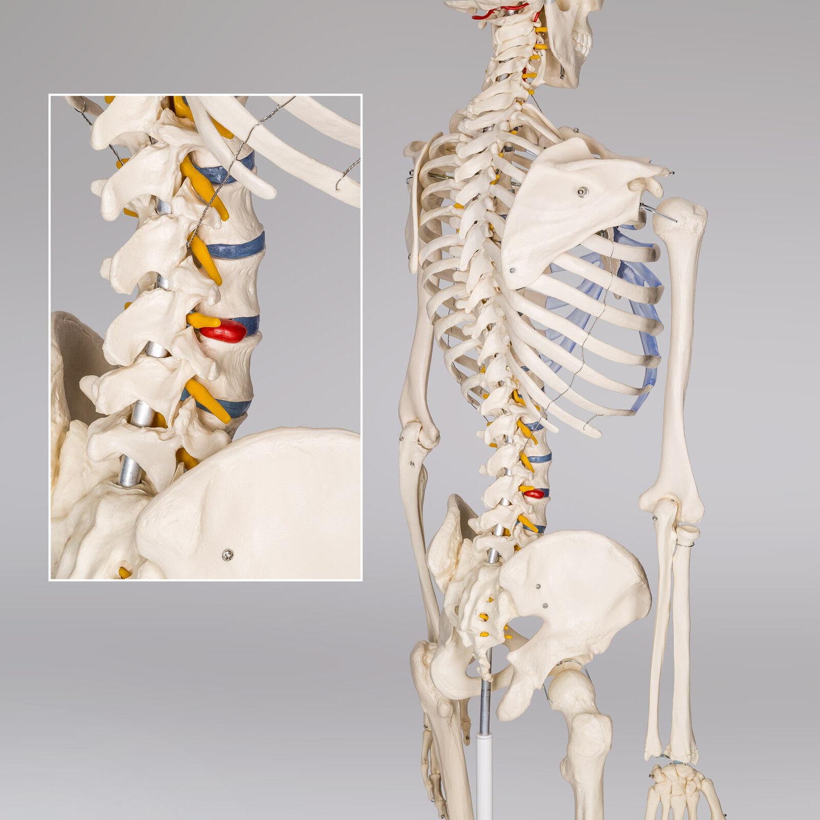 Human Skeleton Anatomical Model Life Size 181cm Medical Poster