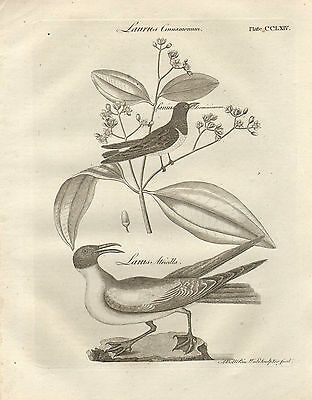 Art 1797 Georgian Print ~ Laurus Cinnaminum Larus Atricilla With A Long Standing Reputation