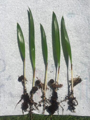 Trachycarpus wagnerianus semis diverses quantités