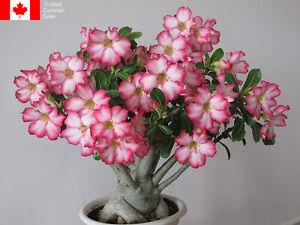 Adenium obesum (Desert Rose) Seeds - Free Shipping