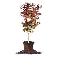 Bloodgood Japanese Maple Tree, Live Plant, Size: 3-4 ft.