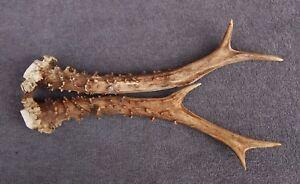 Lot de chevreuil bois (Horn- Cornes- cabine- couteau- Carving- chasse- taxidermie)-afficher le titre d`origine Kmo3ykzs-07160500-803013153