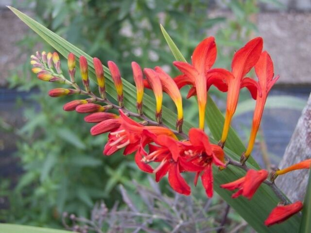HUMMINGBIRD IRIS,FLOWER ( 10 BULBS ) HARDY PERENNIAL PLANTS,CROCOSMIA~LUCIFER~
