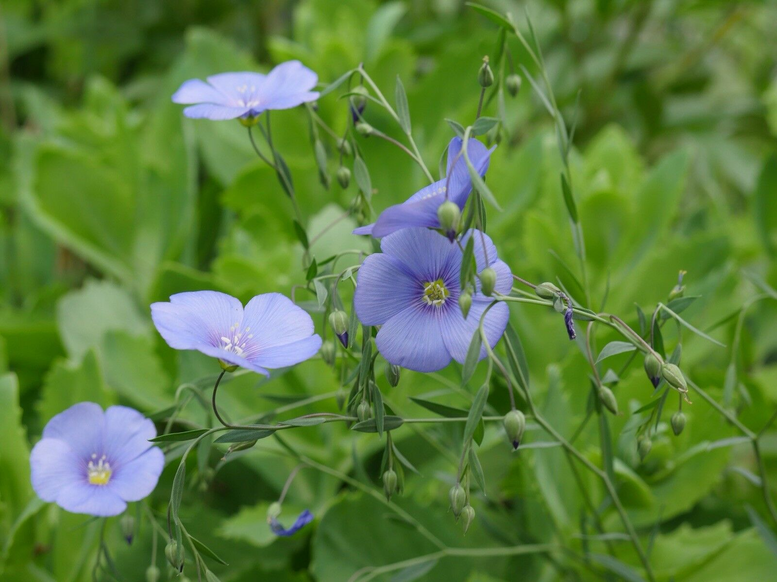 40 Seeds Llinum Perenne Seed Flax blue Patio Garden Plants Flower