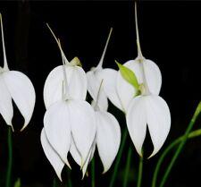 Orchidea Masdevallia coccinea alba pianta