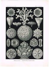 ANTIQUE PRINT NATURE ORIGINAL KUNSTFORMEN DER NATUR ERNST HAECKEL 1899 PLATE 9