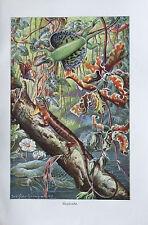 FLUGDRACHE 1928 Brehms Tierleben alter Druck old print