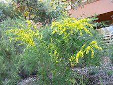 Native Blackdown Tableland Wattle (Acacia gittinsii) 30 Fresh seeds