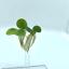 Plantes-flottantes-Combo-Hydrocharis-des-grenouilles-rouge-Racine-Flottant-Eau-Laitue-l-039-eau miniature 5