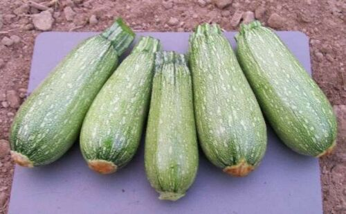 Grey Zucchini Summer Squash Seeds Heirloom delicious Gray 10-100 seeds BULK RA