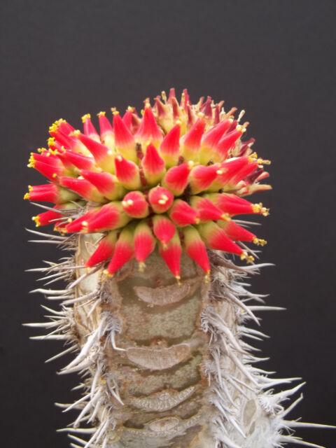 Euphorbia neohumbertii exotic madagascar palm cacti rare succulent seed 50 seeds