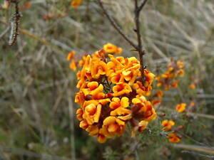 Dillwynia-cinerascens-Parrot-Pea-Bush-10-seeds